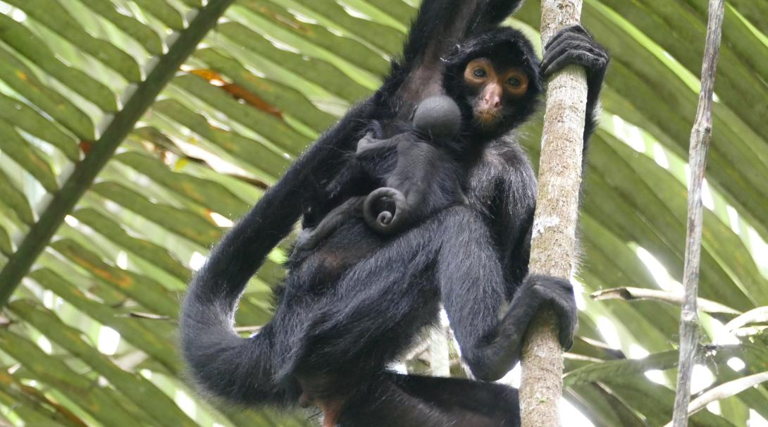 A newly released Peruvian spider monkey with her newborn baby in the Amazon Rainforest